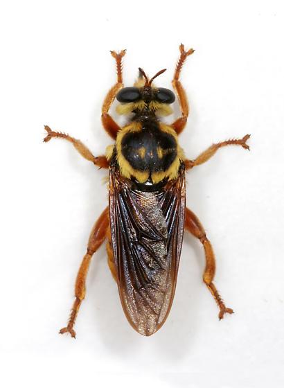 Robber Fly #8 - Laphria saffrana - female