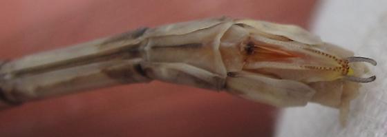 Spreadwing - Archilestes grandis - female