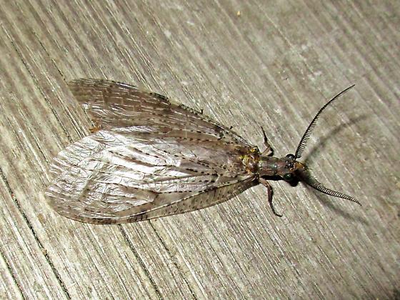 Genus Chauliodes - Fishfly ? - Chauliodes pectinicornis