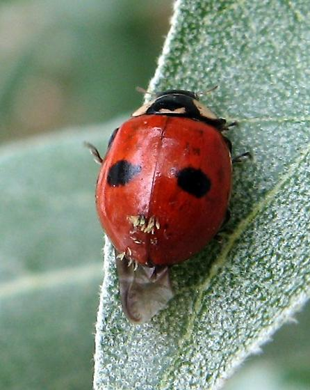 Two Spotted Lady Beetle - Adalia bipunctata