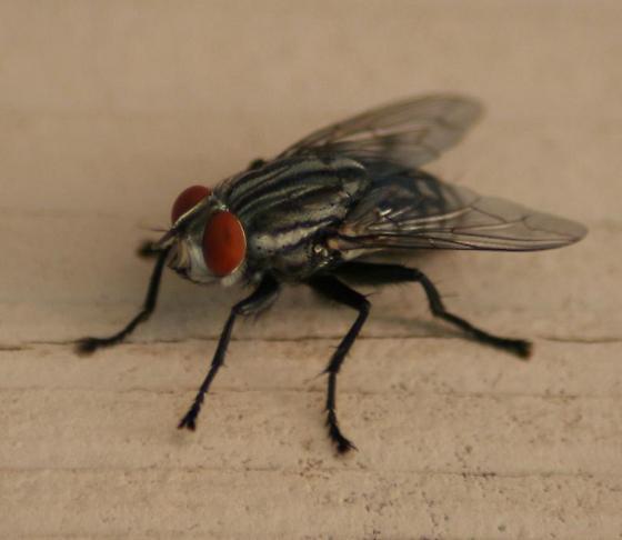 neobellieria bullata grey flesh fly sarcophaga bullata