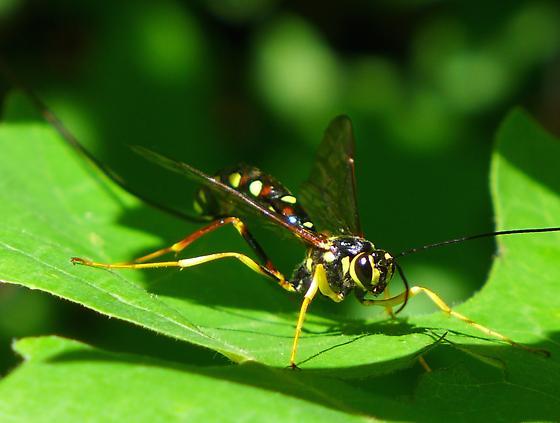 Ichnueumonidae - Megarhyssa nortoni - female