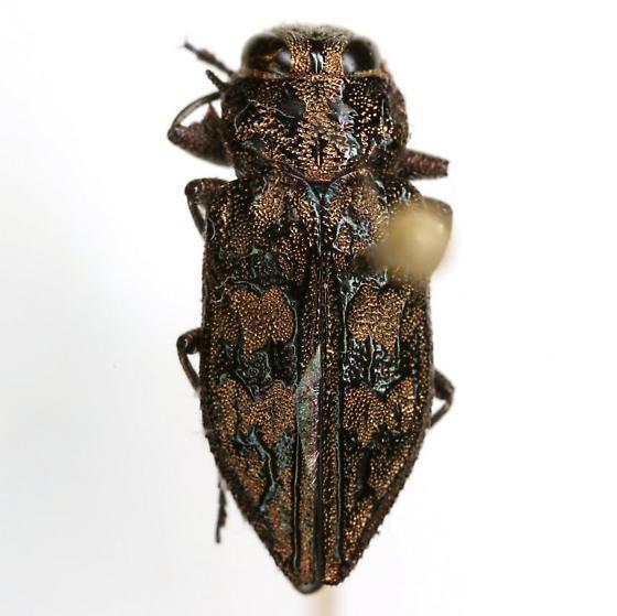 Chrysobothris exesa LeConte - Chrysobothris exesa