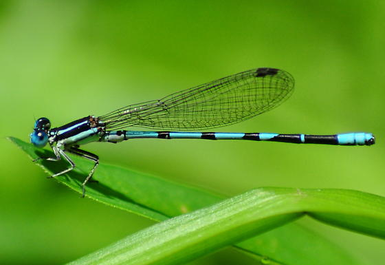 Seepage Dancer - Argia bipunctulata - male
