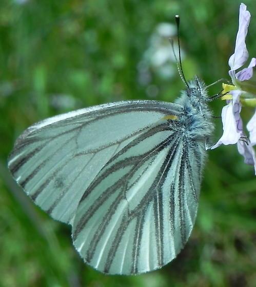 Veined White Butterfly - Pieris marginalis