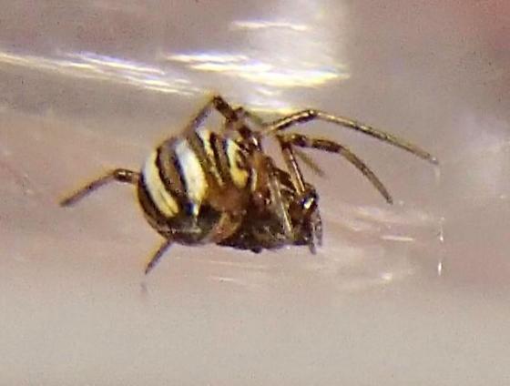 Latrodectus - Latrodectus mactans - female
