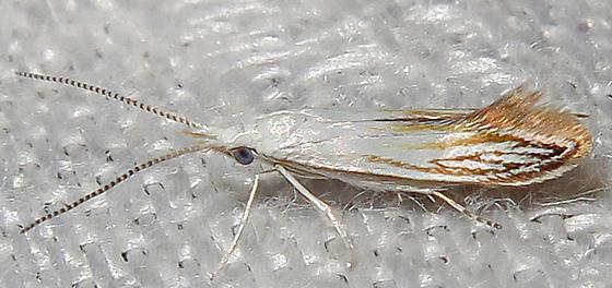 Coleophora tiliaefoliella