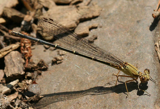 Damselfly - Argia apicalis - female
