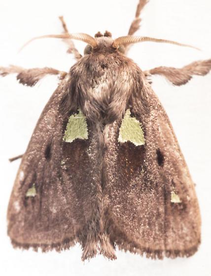 Spiny Oak-slug Moth - Euclea