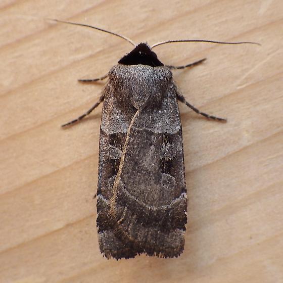 Noctuidae: Agnorisma bugrai - Agnorisma bugrai