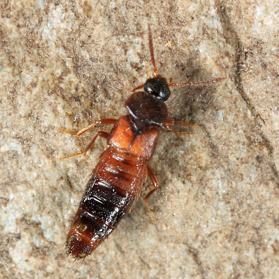 rove beetle found in ant colony under a rock - Goniusa caseyi
