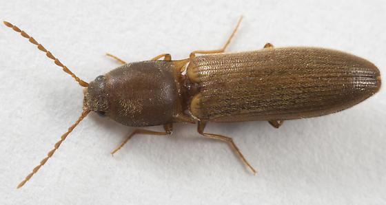 click beetle - Dolerosomus silaceus