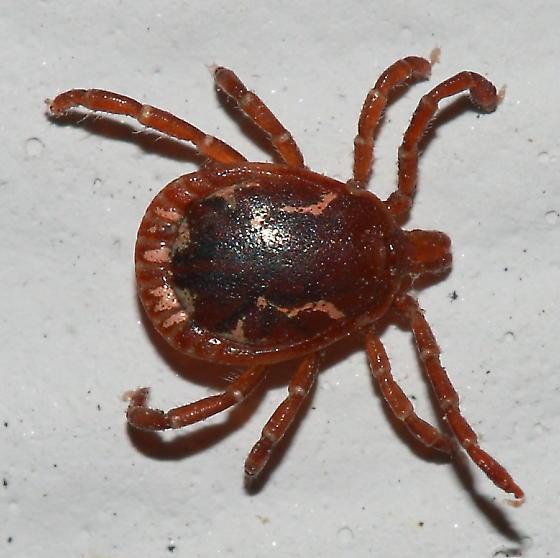 Tick - Amblyomma americanum