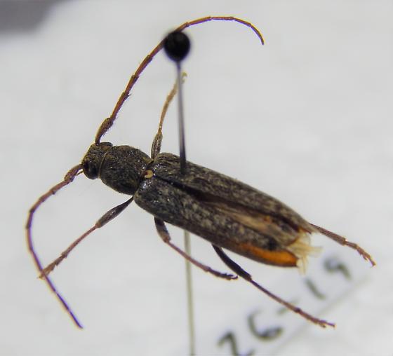 Cerambycidae - Anelaphus villosus