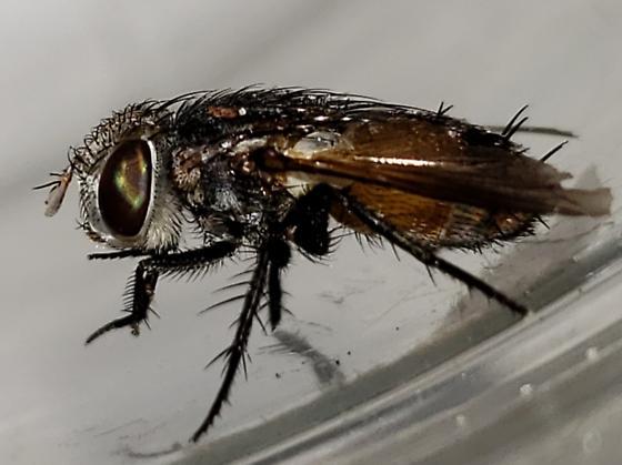 Orange large big fly Florida - Gonia crassicornis - female