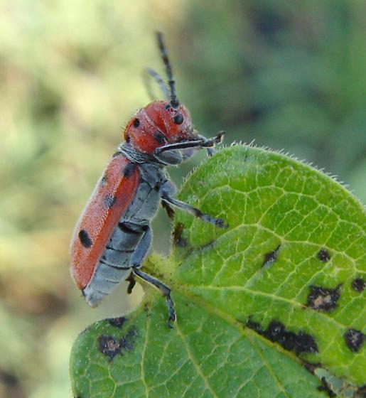 Cerambycidae, lateral - Tetraopes femoratus