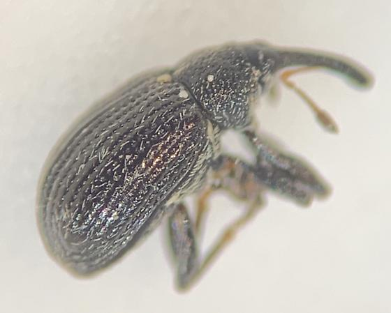 small black weevil - Anthonomus