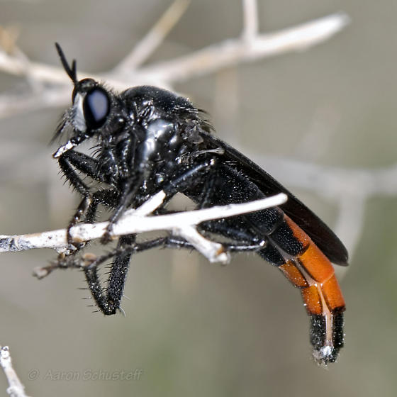 Large Black & Red Robber Fly...Perching - Ospriocerus vallensis