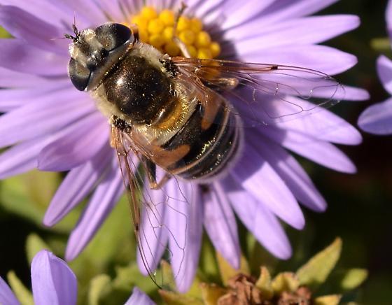 Syrphidae - Eristalis stipator