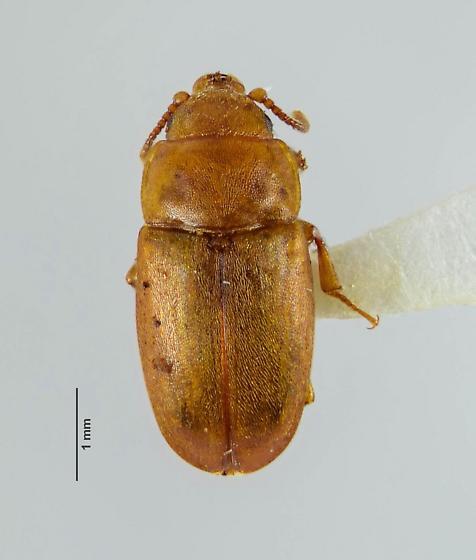 Epuraea? - Antherophagus ochraceus - female