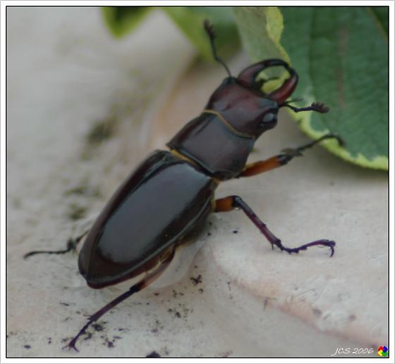 Beetle - Lucanus capreolus