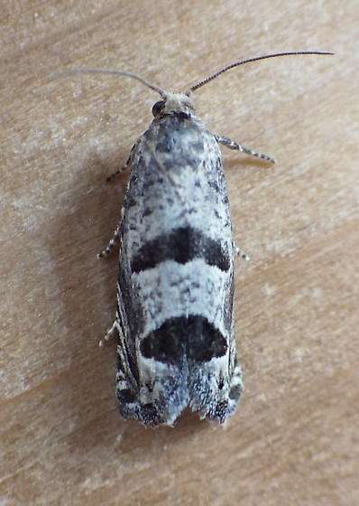 Tortricidae: Eucosma floridensis? - Pelochrista seamansi
