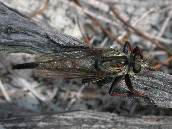 Robber fly - Proctacanthus brevipennis - female