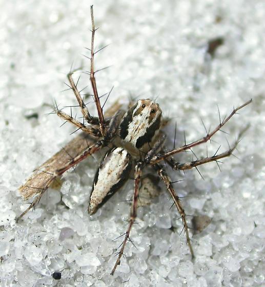 Oxyopes acleistus - female