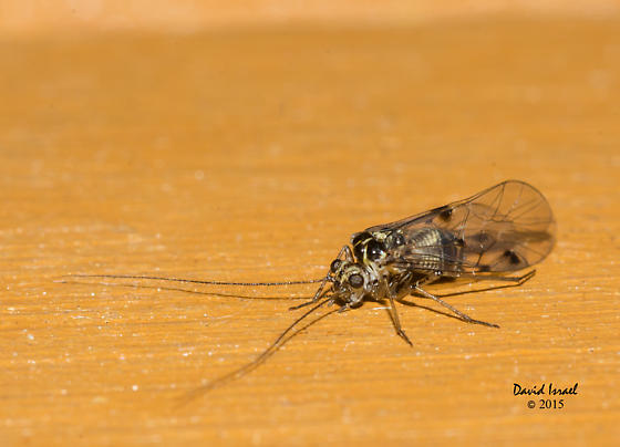 Psocoptera - Hyalopsocus striatus