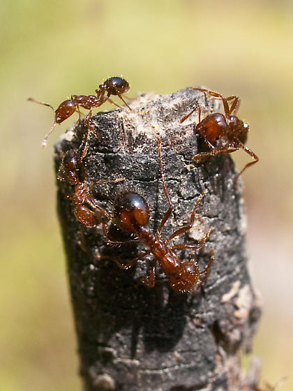Unknown ant - Solenopsis invicta