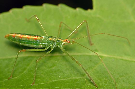 Assassin Bug - Zelus? - Zelus luridus