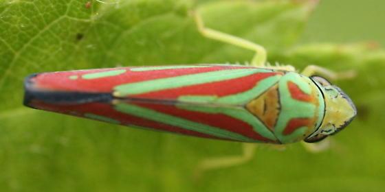 Nice stripes - Graphocephala