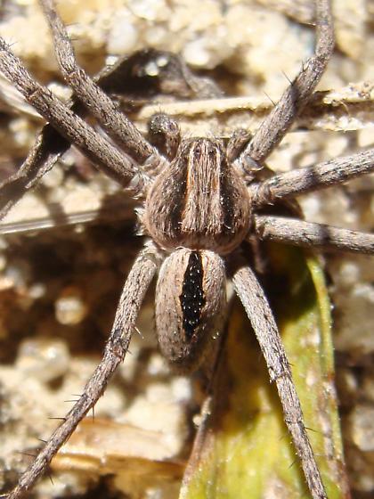 Wolf Spider? - Thanatus