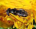 Maybe Genus Platycheirus? - Platycheirus - female