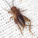 Collared Ground Cricket - Neonemobius near-to-mormonius - male