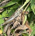 Unknown grasshopper in Field - Melanoplus differentialis - female