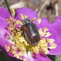 Beetle  - Coleothorpa vittigera