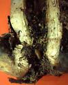 Lactuca stem fly puparium