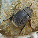 May Beetle_Phyllophaga lanceolata?