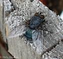 super huge fly - Calliphora vomitoria