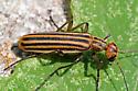 Striped Blister Beetle - Epicauta