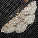 Moth 42 - Melanolophia canadaria