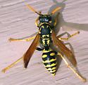 European Paper Wasp - Polistes dominula - female