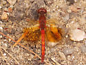 Eastern Band-winged Meadowhawk - Sympetrum semicinctum - male