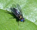 Long legged Fly - Asyndetus