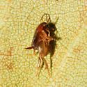 Oregon Ant Cricket - Myrmecophilus oregonensis