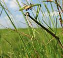 Brunner's Mantid, Stinkbug, Milichiids - Brunneria borealis