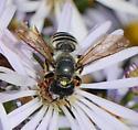 Bee for ID - Megachile pugnata - female