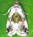 Moth - Maliattha synochitis