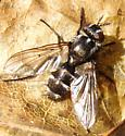 Small Tachinid - Admontia - female